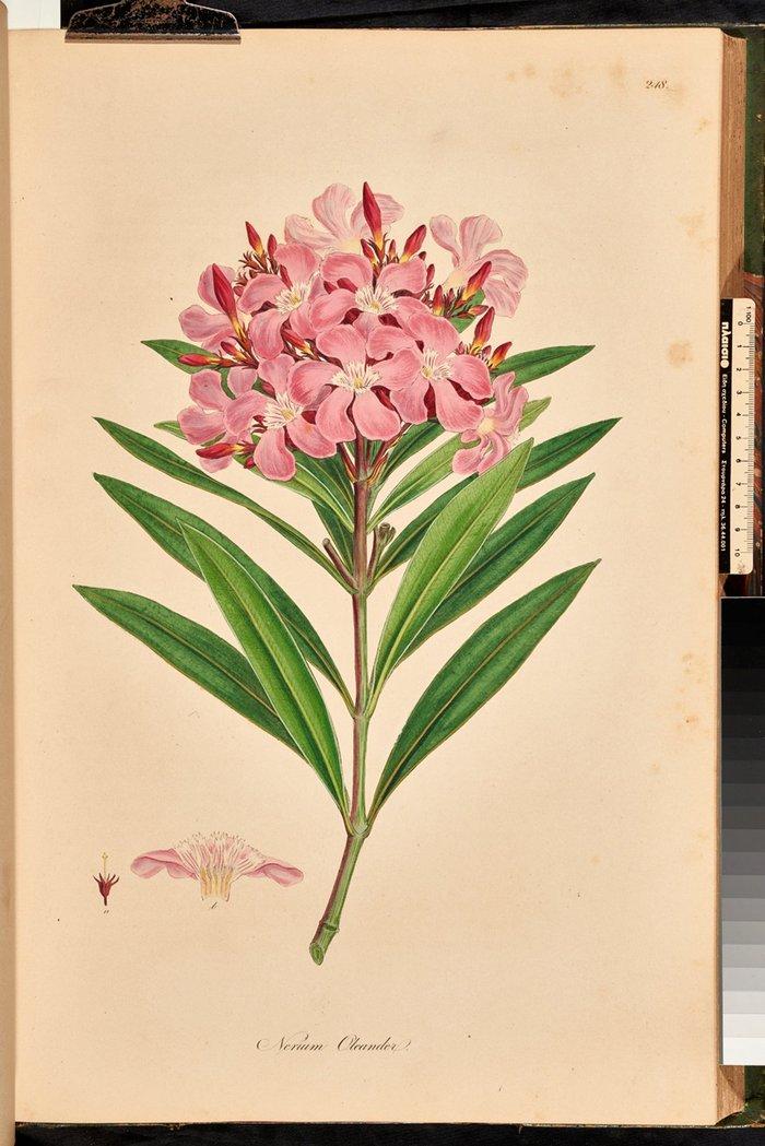 Nerium oleander (πικροδάφνη)
