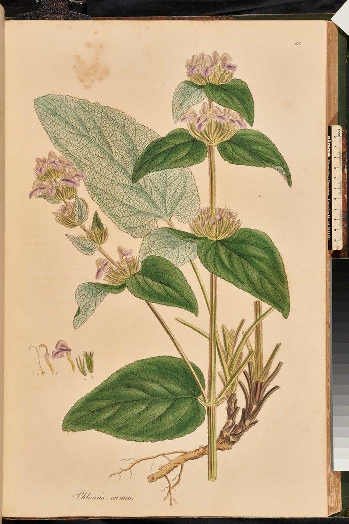 Phlomis samia ή Φλόμος, Flora Graeca, σ. 52, τ.6.