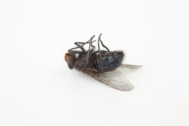 Image result for picture of a dead fly