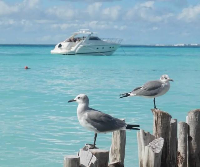 Isla Mujeres seagulls, Mexico