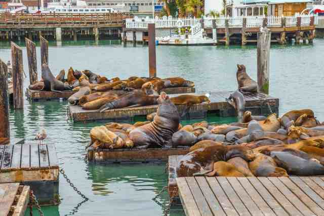 Sea lions at Pier 39. One of the best attractions of san francisco