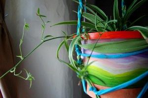 spider plants house plants