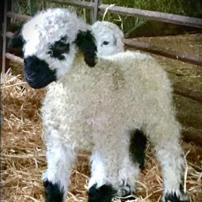 Fluffy white lamb
