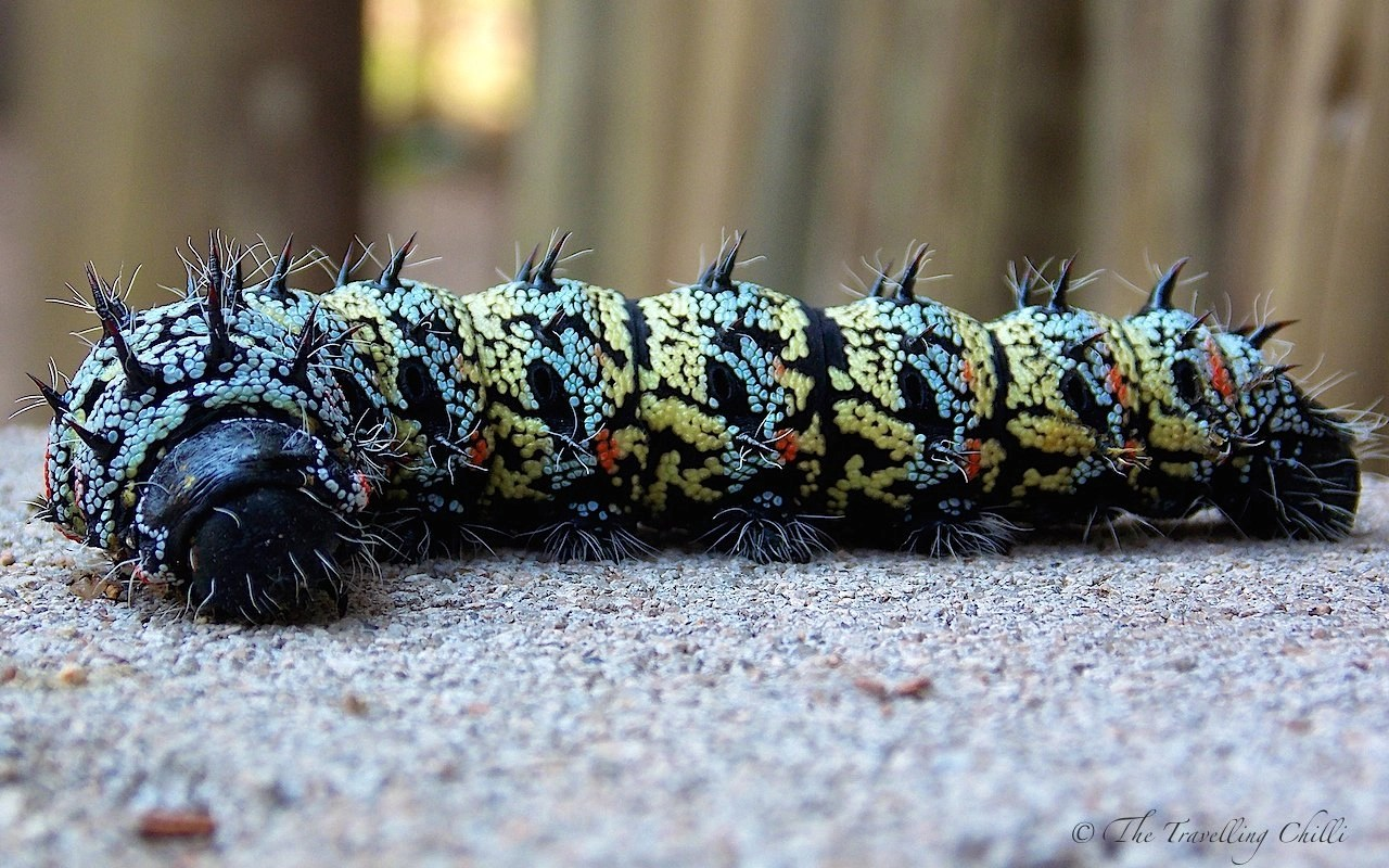 Mopane worms - A true delicacy in southern Africa