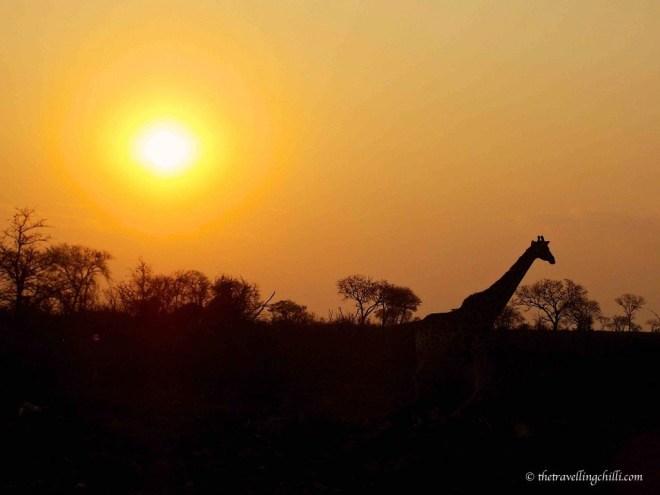 giraffe sunset sun south africa kruger