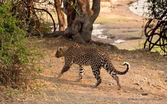 leopard botswana chobe mammal