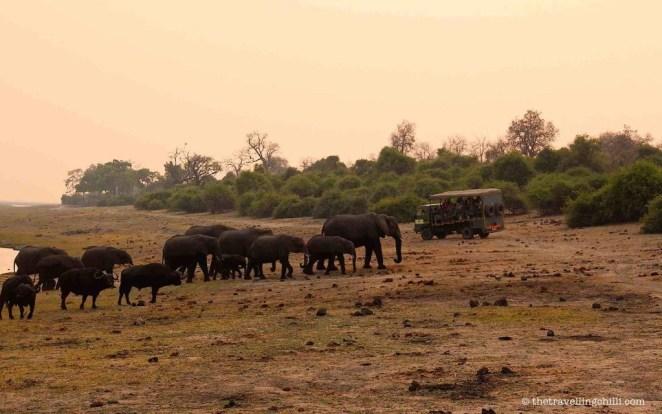 mammal elephant botswana chobe