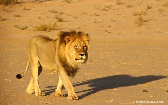 lion kgalagadi transfrontier botswana
