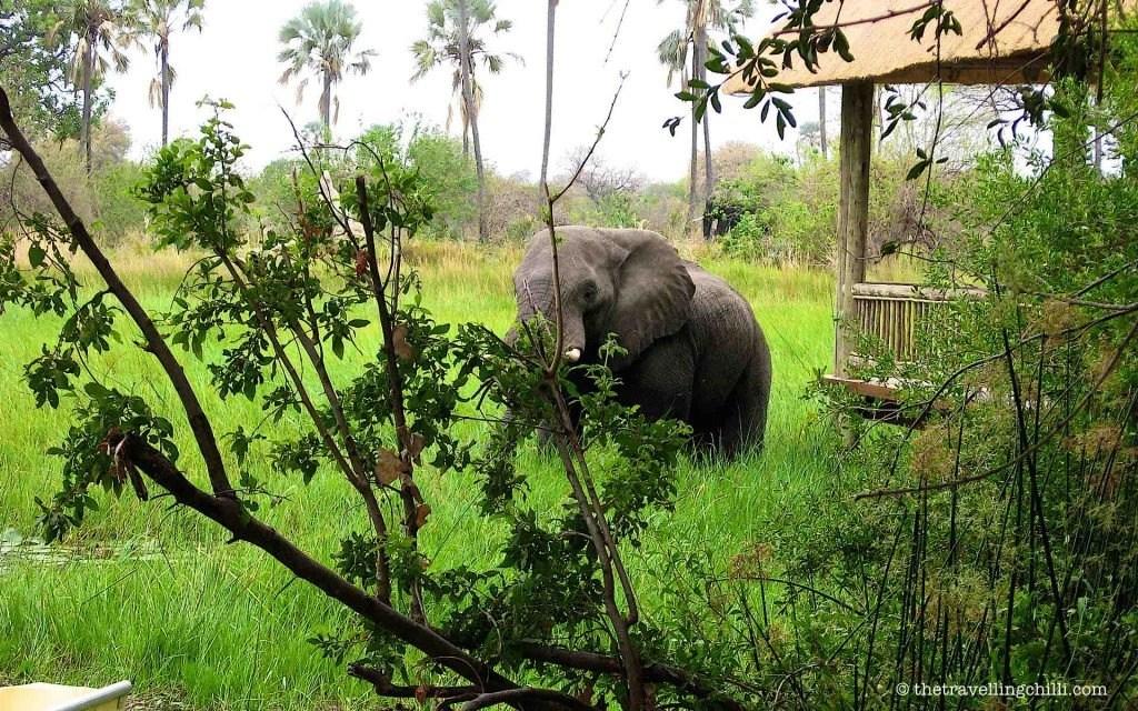 botswana delta elephant