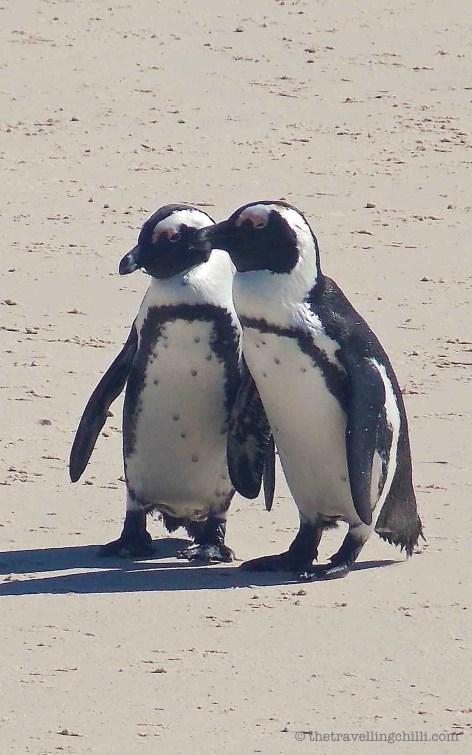 bird penguin south africa boulders simons town