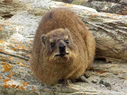 Dassie Rock Hyrax Tsitsikamma South Africa