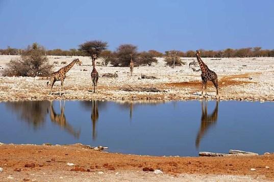 giraffe namibia etosha okaukuejo