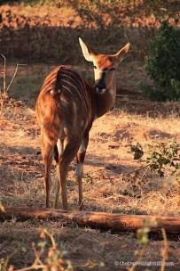 Nyala Kruger National Park South Africa