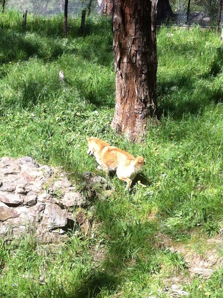 Dingo in Cleland Conservation Park