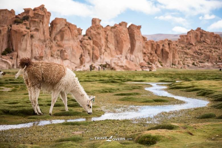 這一隻身形偏大,但耳朵豎直,到底是羊駝還是駱馬?
