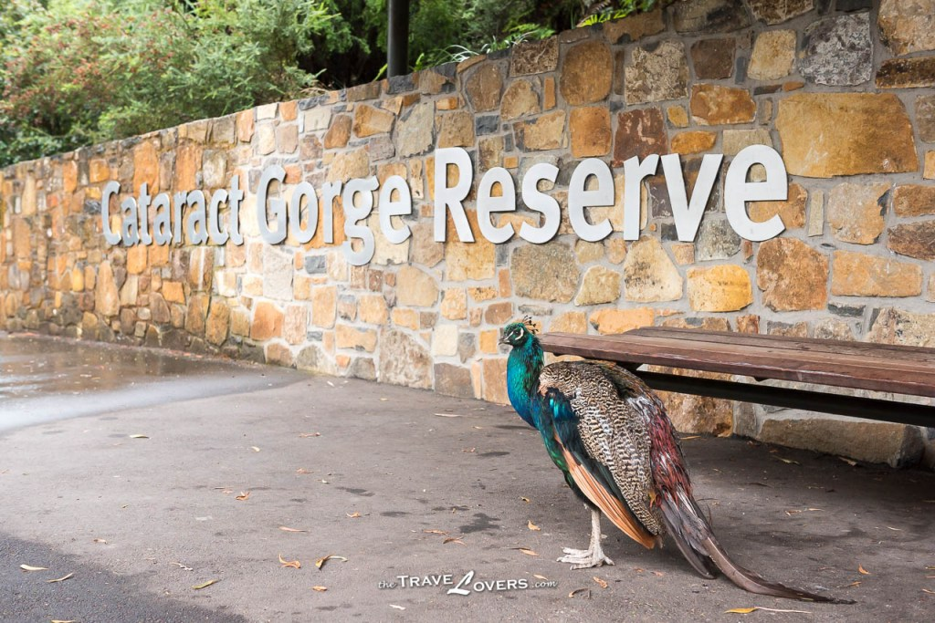 Cataract Gorge Peafowl