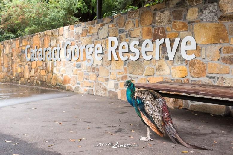 Cataract Gorge Peafowl
