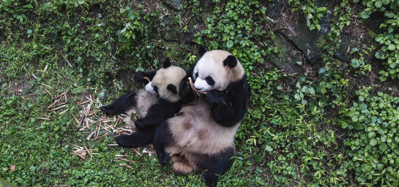 Panda Research Center in Chengdu China