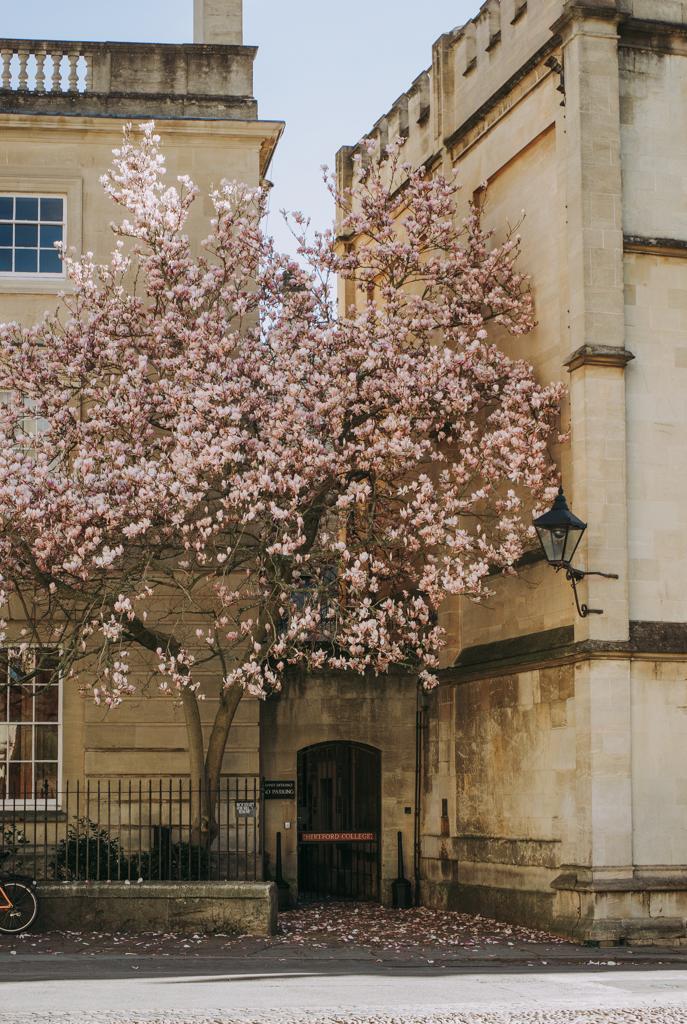 Oxford Magnolia
