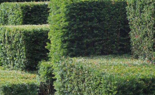 Hicks yew zone 8 evergreen shrub for shade