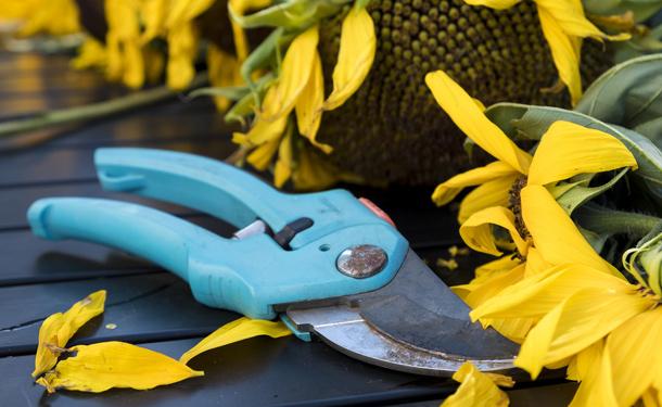 Pruning indoor evergreen tree care