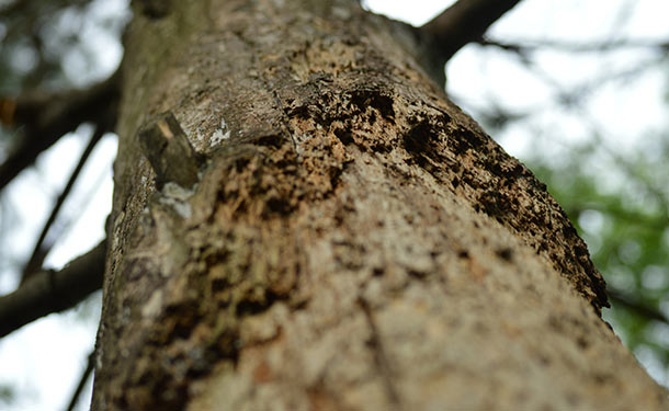 Tree bark damage caused by machinery or storms