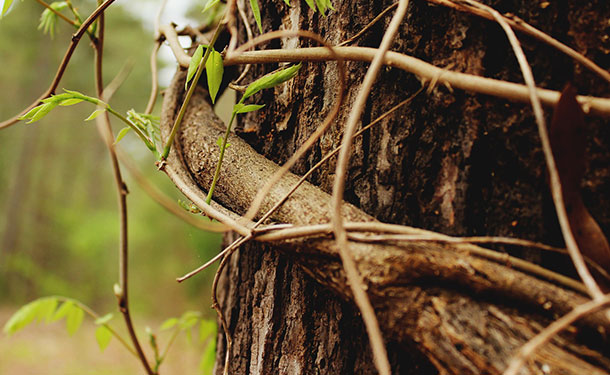 Vines growing on a tree can easily girdle it causing hydraulic failure and death