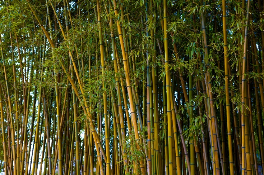 Mature Bamboo Sale