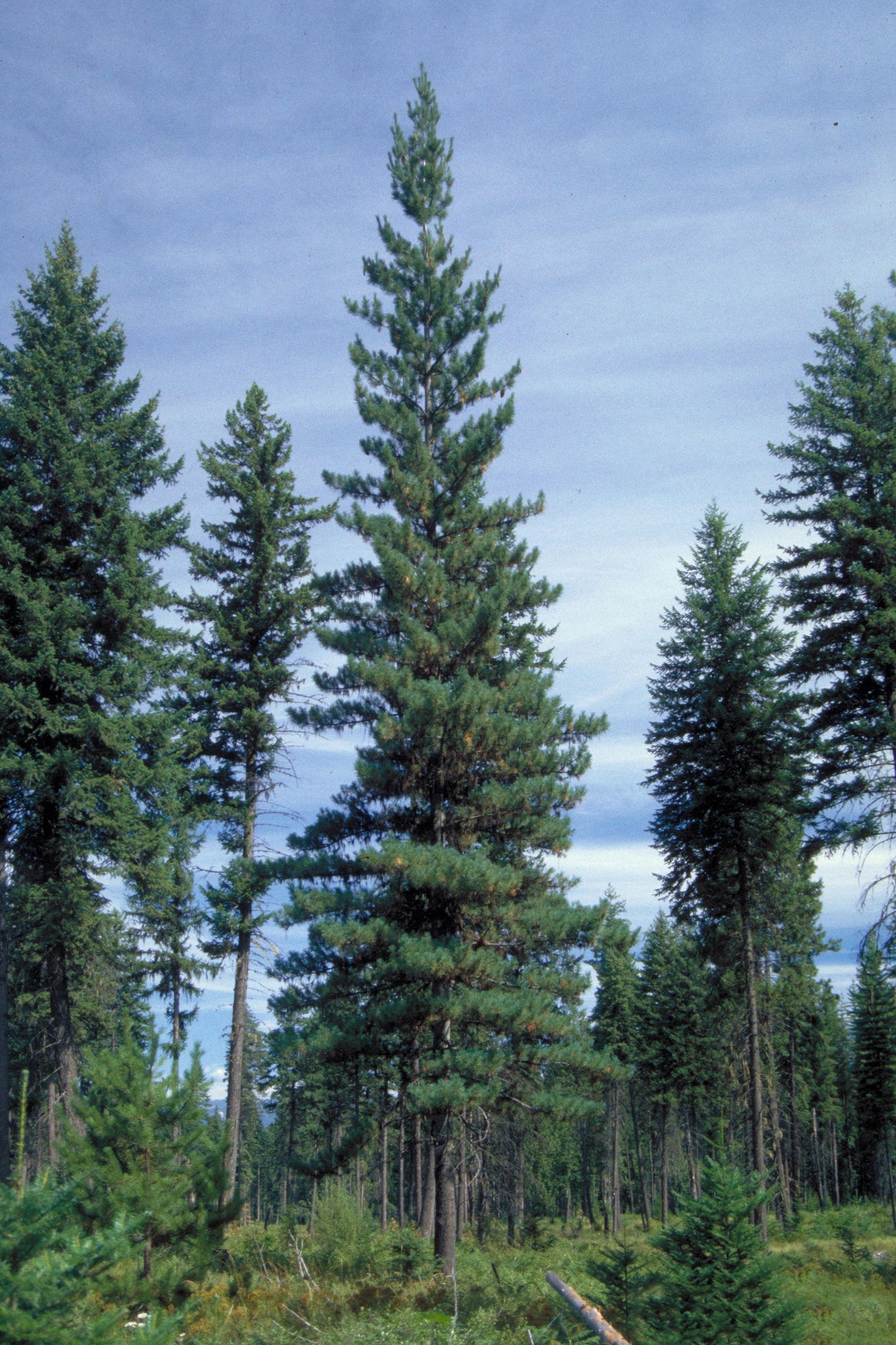 Evergreen Shrubs List
