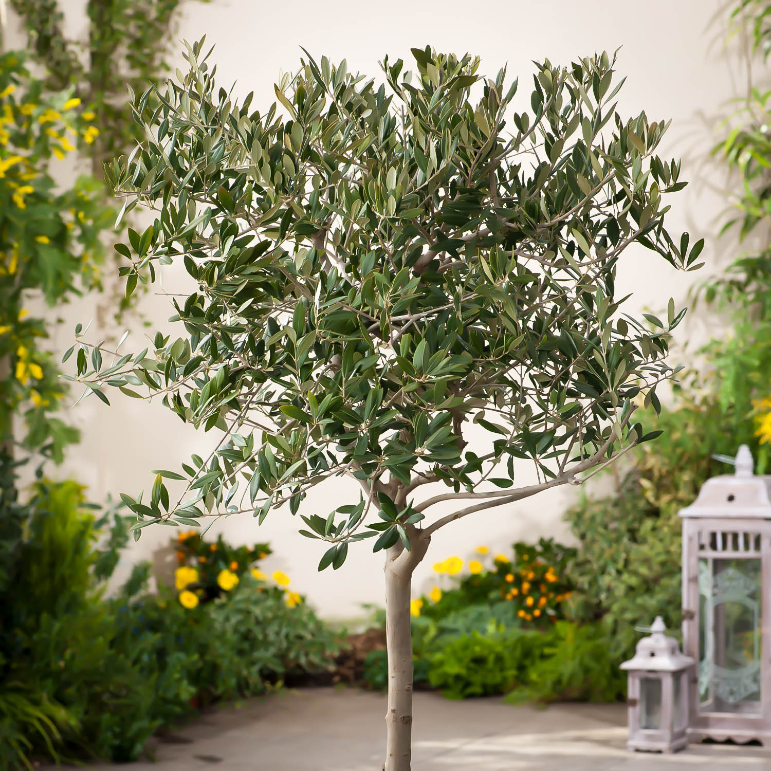 Arbequina Olive Tree For Sale The Tree Center