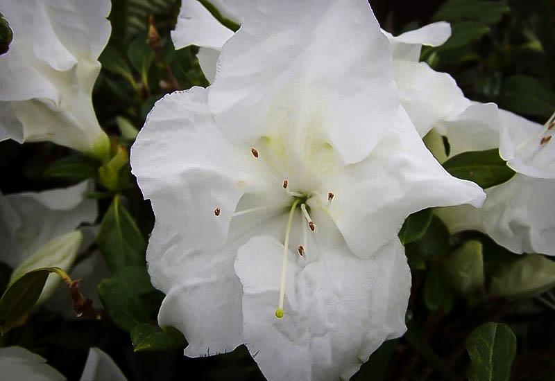 Rhododendron Fertilizer