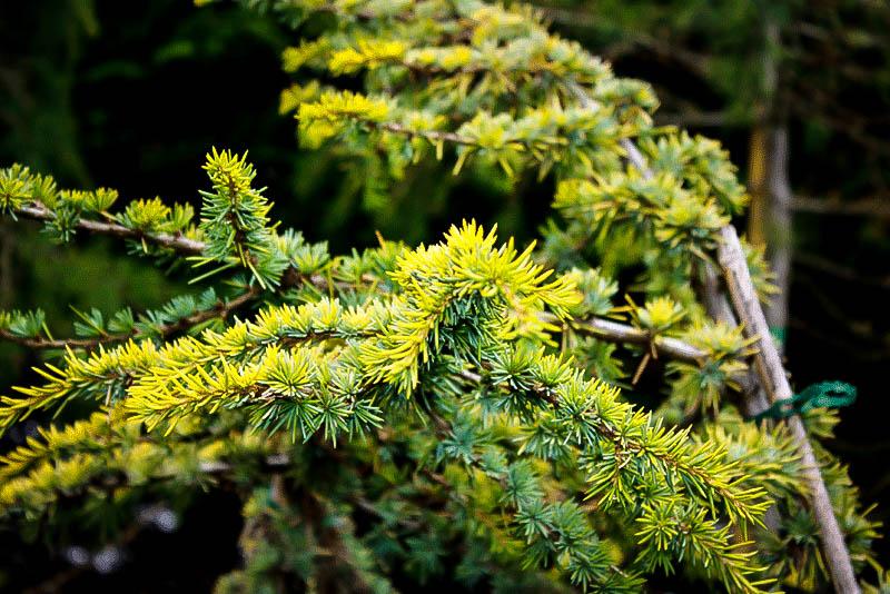 Golden Atlas Cedar Trees For Sale Online The Tree Center