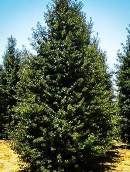 Buy Holly Trees Holly Trees For Sale The Tree Center