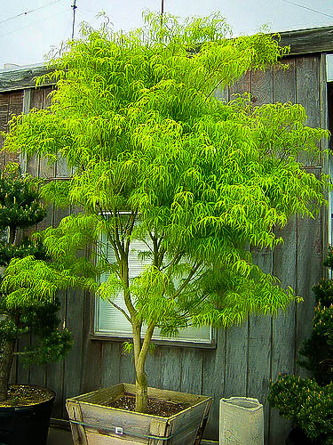 Koto No Ito Japanese Maple Trees For Sale The Tree Center