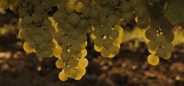Jidvei oferă must pentru cine vrea să își facă vinul acasă