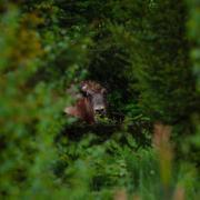 Primul zimbru sălbatic ajuns accidental în Germania a fost împușcat