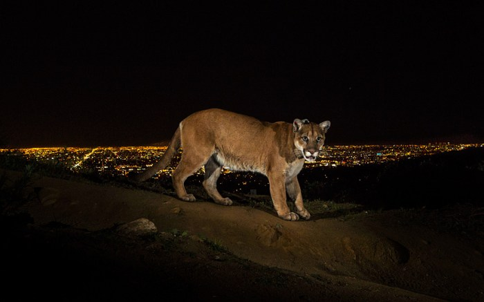 1st Prize Nature Stories Steve Winter, USA, for National Geographic02 March 2013, Los Angeles, USAA cougar walking a trail in Los Angeles' Griffith Park is captured by a camera trap. To reach the park, which has been the cougar's home for the last two years it had to cross two of the busiest highways in the US.Cougars are among the most adaptable and widespread terrestrial mammals in the Western Hemisphere, with a range that extends from the tip of Chile to the Canadian Yukon. They are increasingly being seen in and around towns and cities, including Los Angeles and in the Hollywood Hills. Fear of these secretive cats, combined with a lack of adequate public knowledge, tends to justify the thousands of cougars killed every year. Scientists in Wyoming's Teton National Forest are outfitting them with GPS collars and camera trapping to learn more about basic behaviors and to lift the veil of mystery surrounding them.Picture: STEVE WINTER/NATIONAL GEOGRAPHIC