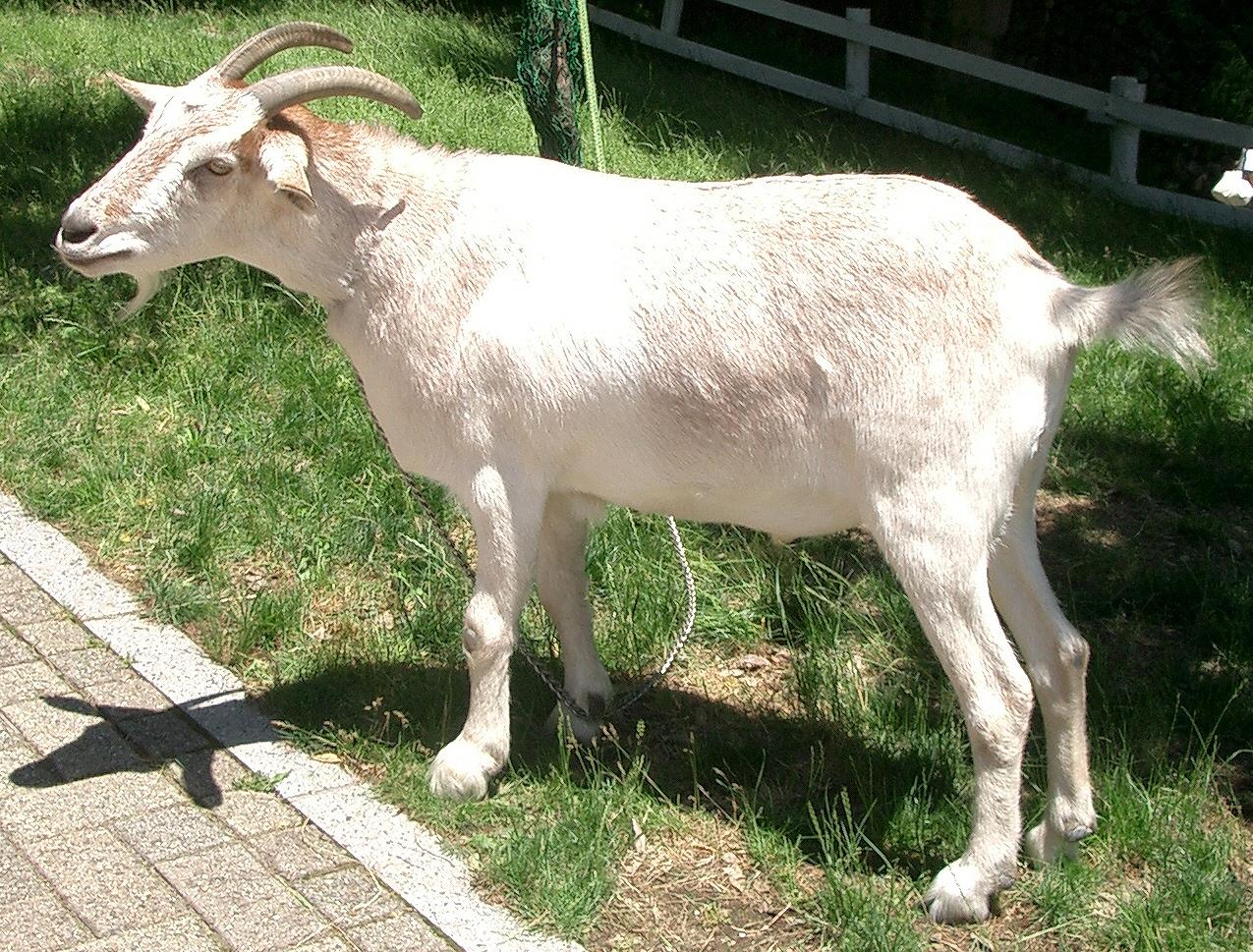 having sex goats