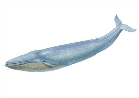 a98166_blue_whale-450