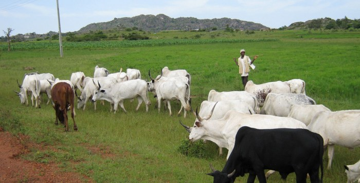 Fulani herdsmen, Cattle colony