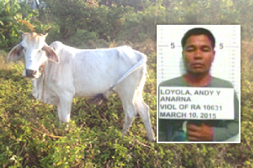 Serial animal rapist, Andy Loyola impregnates farmer's cow after it went missing in Philippines. (Photo Credit: Eric Dastas, DZMM)