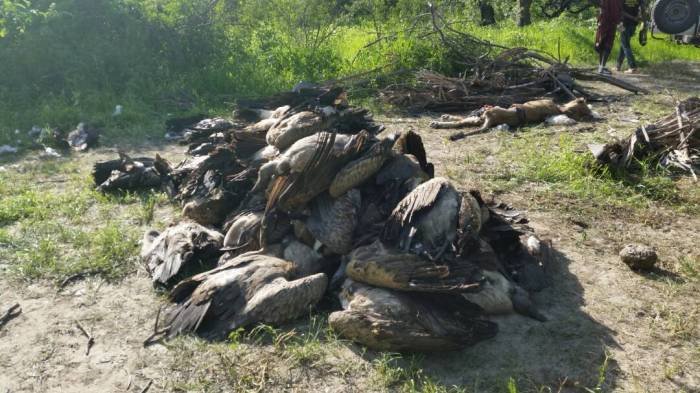 Tanzania: Herdsmen Poison 6 Lions, 74 Endangered Vultures To Death