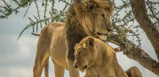 Tanzania Lions used to illustrate the story