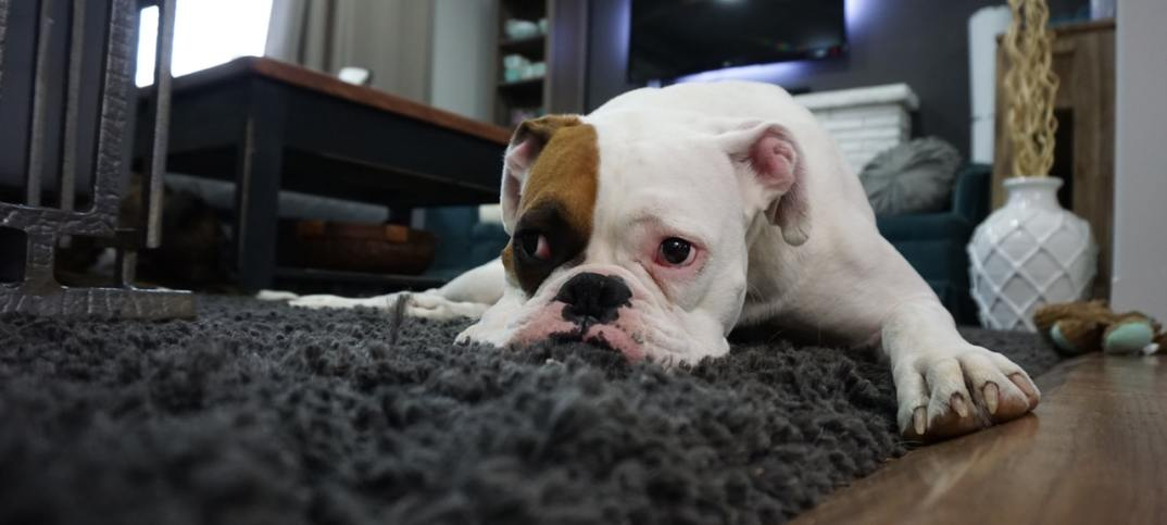 pet dog carpet