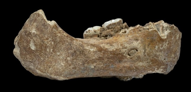 A view of the Denisovan fossil jawbone found in Baishiya Karst Cave on the Tibetan plateau (Picture: Dongju Zhang/ Lanzhou University/ PA) Read more: https://metro.co.uk/2019/05/01/bones-of-mysterious-extinct-neanderthal-like-humans-discovered-in-the-himalayas-9377089/?ito=cbshare Twitter: https://twitter.com/MetroUK | Facebook: https://www.facebook.com/MetroUK/