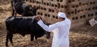 Muhammadu Buhari in his farm in Daura waving to his cows (State House Photos)