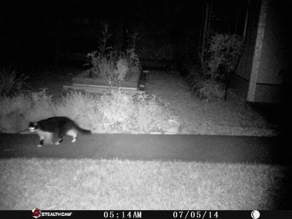 7-5 black cat