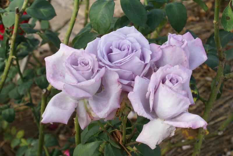 Blue Moon Bush Rose 8 Quot Pot Hello Hello Plants Amp Garden
