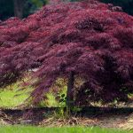 Japanese Maple Red Weeping 'Crimson Queen'