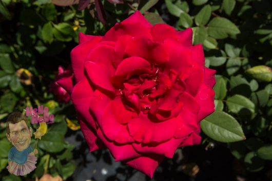 Fragrant Charm Rose